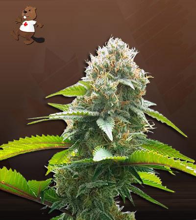 fruit walker autoflower marijuana seeds
