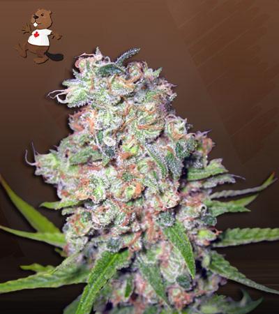 galaxy autoflower marijuana seeds