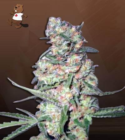 Galaxy Autoflowering Marijuana Seeds 1
