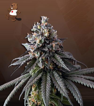 Gelato 48 Feminized Marijuana Seeds