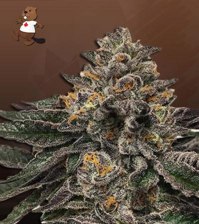grape drink autoflower marijuana seeds
