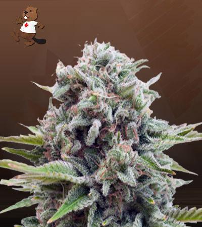 Gravity Autoflower Marijuana Seeds