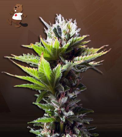 Hay-Z Feminized Marijuana Seeds