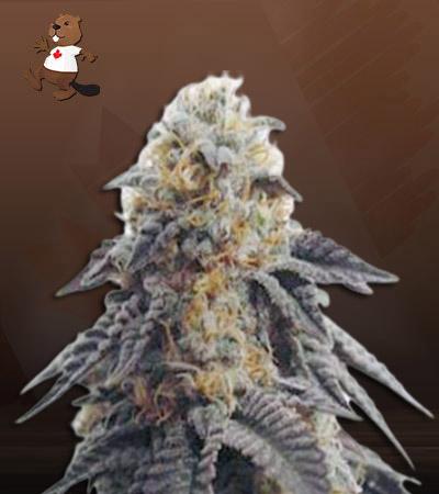 Hippie Crippler Autoflower Marijuana Seeds