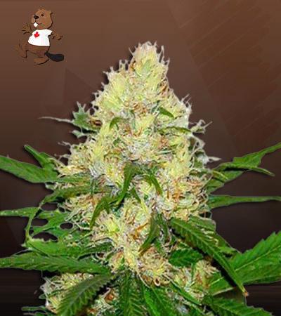 Jillybean Feminized Marijuana Seeds