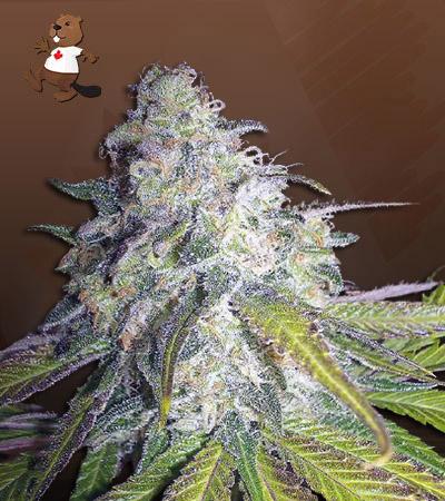Killer Blue Autoflower Marijuana Seeds