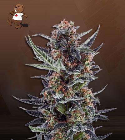 Lemon Jack Autoflower Marijuana Seeds