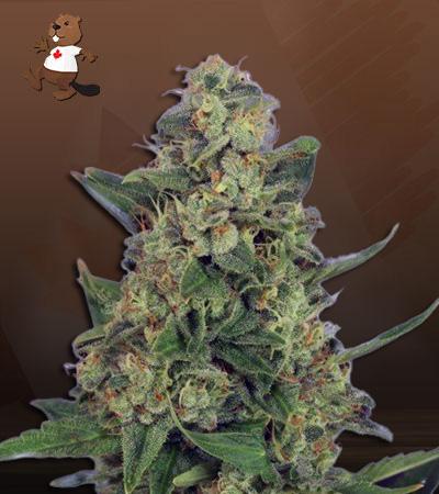 Light Saber Autoflower Marijuana Seeds