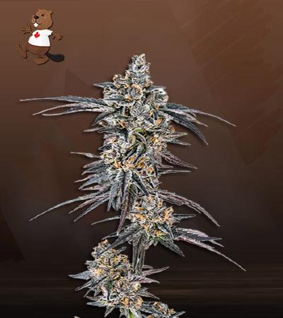 Mendo Breath Autoflower Marijuana Seeds