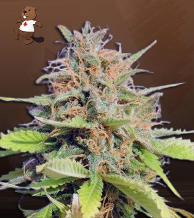 Mint Cookies Autoflower Marijuana Seeds