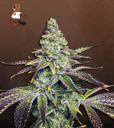 Mint Dawg Autoflower Marijuana Seeds