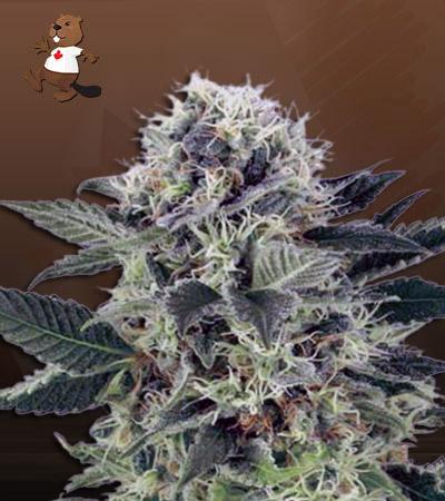 Mr Green Autoflower Marijuana Seeds