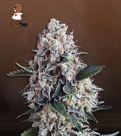 NYPD Blue Autoflower Marijuana Seeds