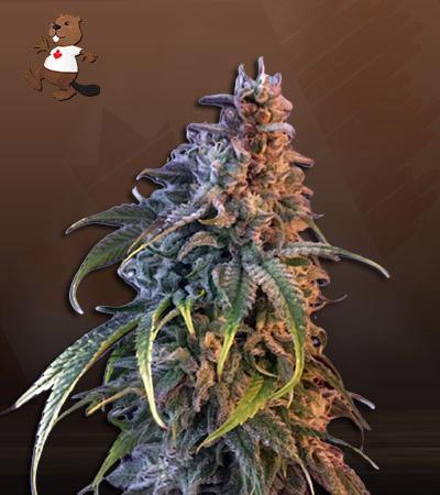 Nuken Feminized Marijuana Seeds
