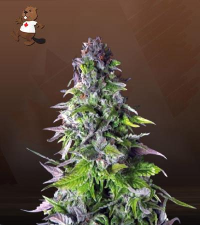 Outer Space Autoflower Marijuana Seeds