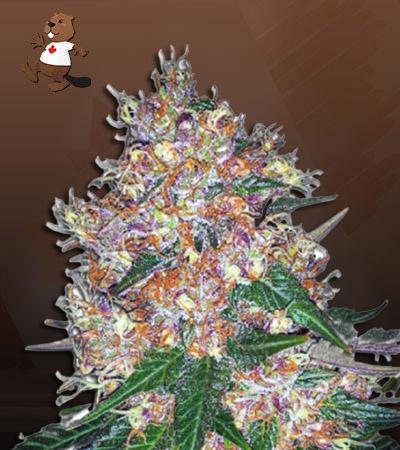 Pink Runtz Autoflower Marijuana Seeds