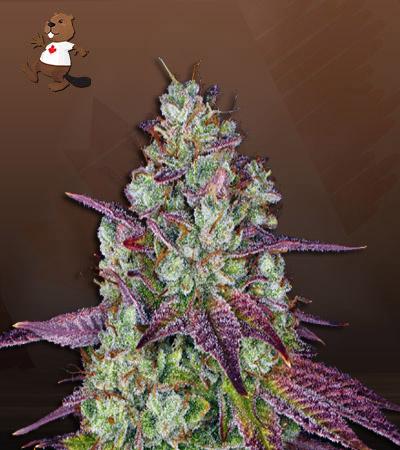 Pink Sunset Autoflower Marijuana Seeds