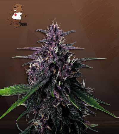 Rose Queen Feminized Marijuana Seeds