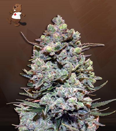 Ruby Cookies Fast Vesrion Marijuana Seeds