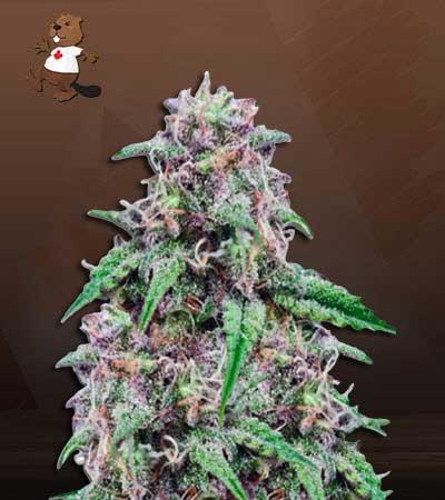 Salted Caramel Feminized Marijuana Seeds