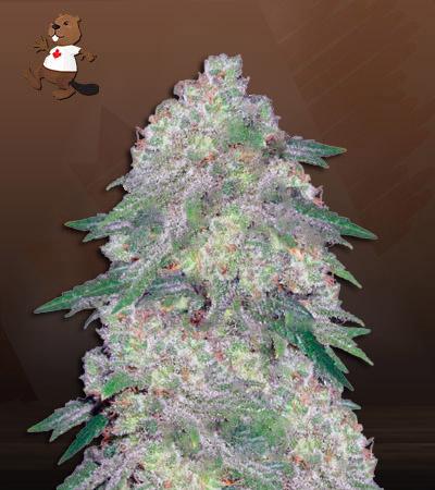 Santa Maria Feminized Marijuana Seeds