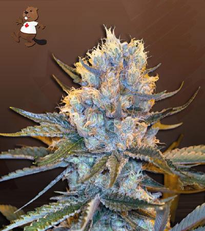 Skunk Autoflower Marijuana Seeds