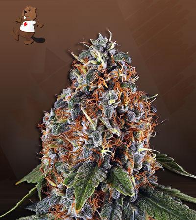 Space Cookies Autoflower Marijuana Seeds