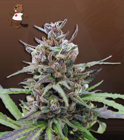Spider Kush Autoflower Marijuana Seeds
