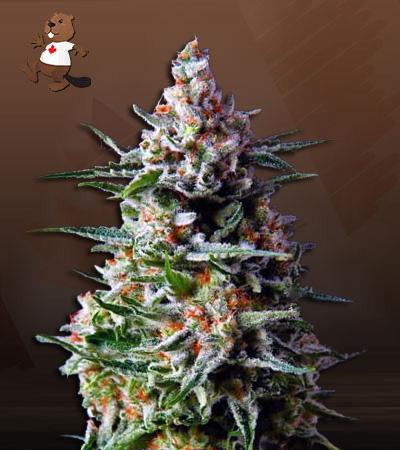 Star Gazer Auto Fast Version Marijuana Seeds