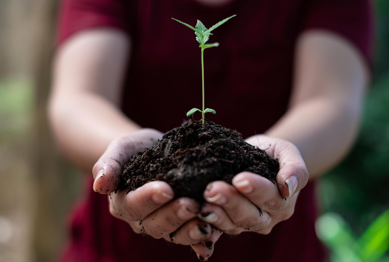 Steps growing cannabis