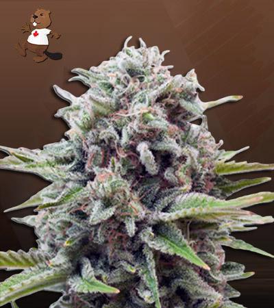 Sugar Glue Feminized Marijuana Seeds
