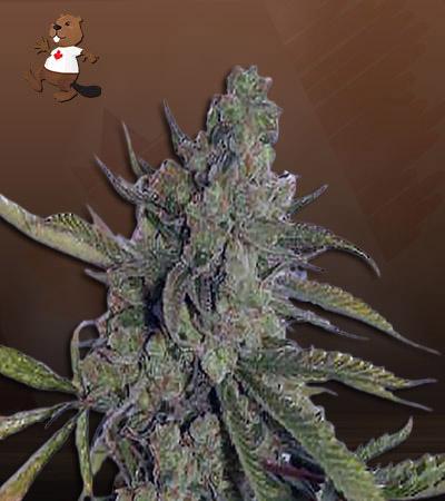 Super Dog Autoflower Marijuana Seeds