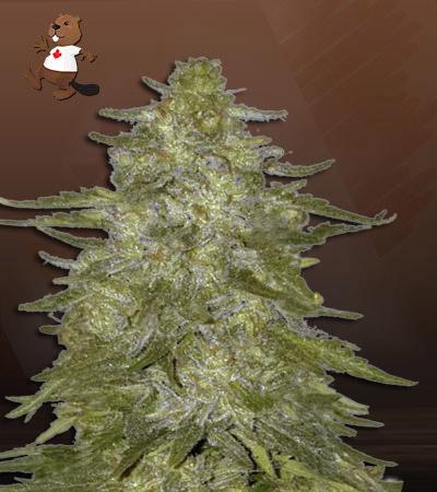 Super Hash Autoflower Marijuana Seeds
