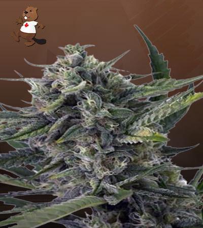 Sweet Kush Autoflower Marijuana Seeds