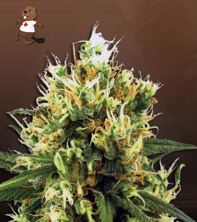 The Big Dirty Autoflower Marijuana Seeds