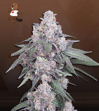 White Runtz Autoflower Marijuana Seeds