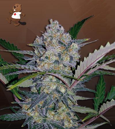 Zodiac Fast Version Marijuana Seeds