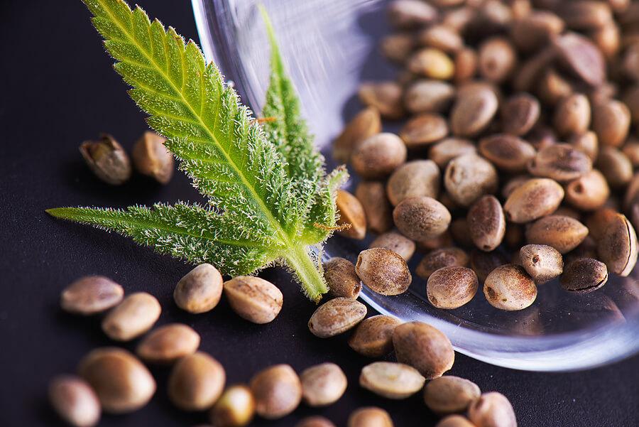 Buy Marijuana Seeds In Jackson