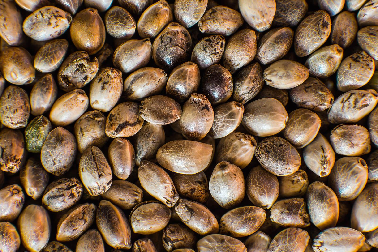 Buy Marijuana Seeds In Mexico