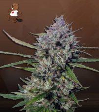 Diesel Berry Autoflower Marijuana Seeds