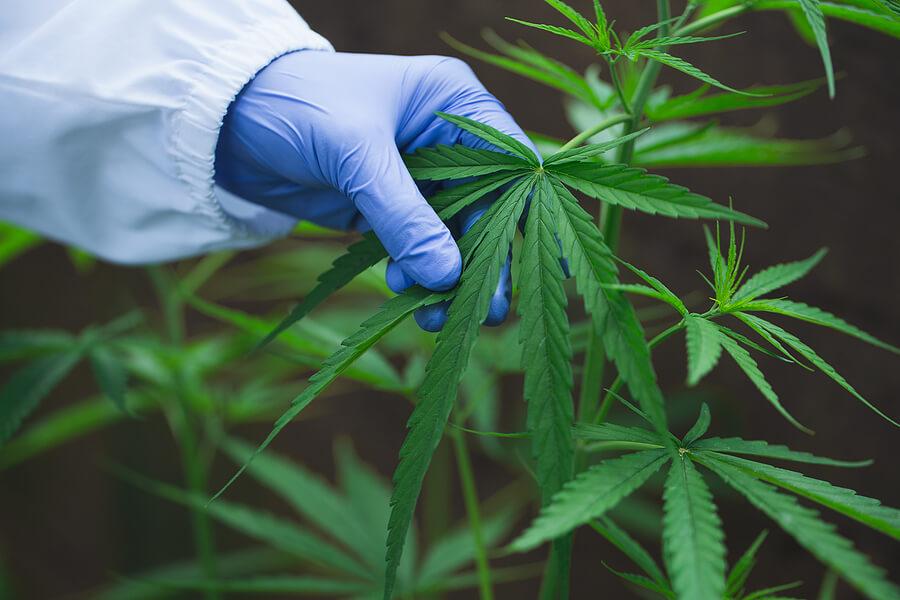 how to grow a marijuana plant