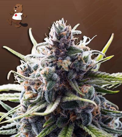 B-52 Feminized Marijuana Seeds