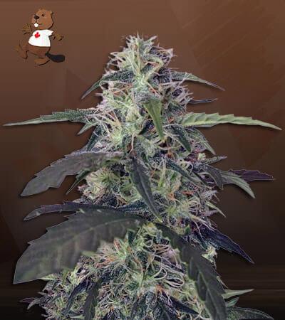 Blue Pyramid Autoflower Marijuana Seeds