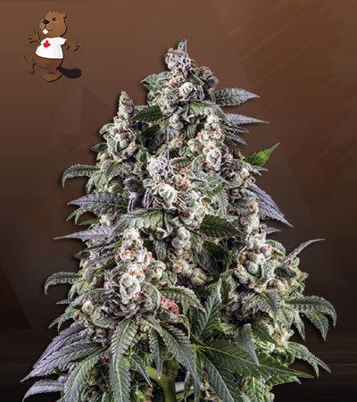 Cafe Racer Autoflower Marijuana Seeds