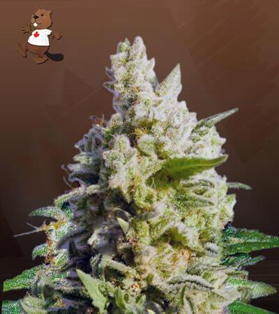 Cali Kush / CBD Indica Marijuana Seeds