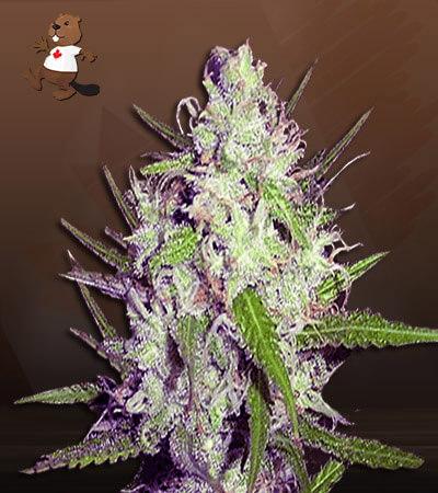 Dark Angel Feminized Marijuana Seeds