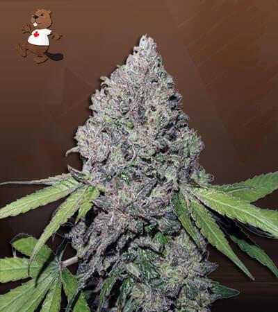East Coast Alien Feminized (Fast) Marijuana Seeds