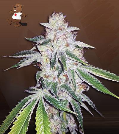 Ghost OG Autoflower Marijuana Seeds
