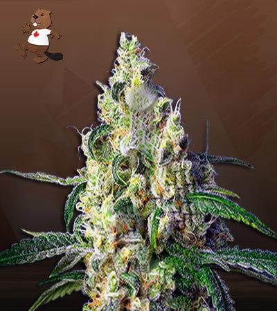 Green Dream Autoflower Marijuana Seeds
