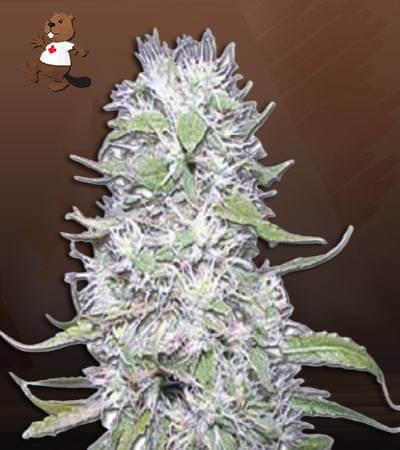 Hawaiian Skunk Autoflower Marijuana Seeds 1